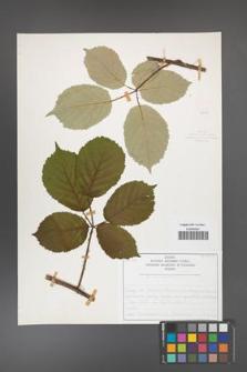Rubus armeniacus [KOR 50474]