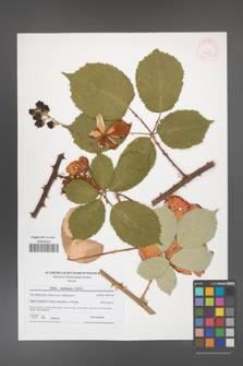 Rubus armeniacus [KOR 41815]