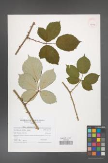 Rubus armeniacus [KOR 40913]