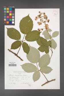 Rubus armeniacus [KOR 39053]