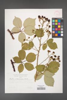 Rubus armeniacus [KOR 29520a]
