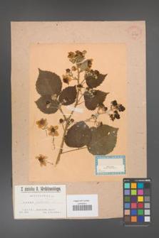 Rubus armeniacus [KOR 36378]