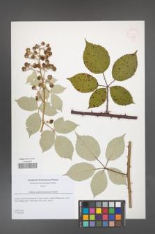 Rubus austromoravicus [KOR 51819]