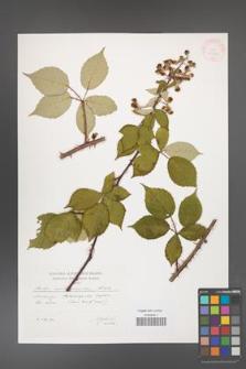 Rubus austromoravicus [KOR 29582]