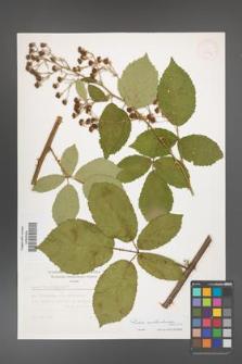Rubus austroslovacus [KOR 32891]