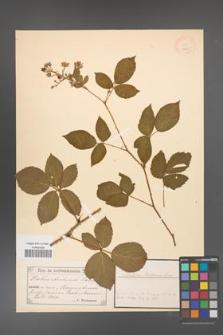 Rubus arrhenii [KOR 18479]