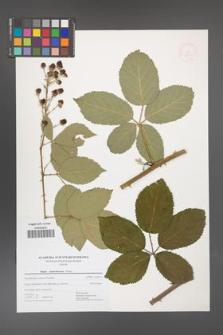 Rubus austroslovacus [KOR 52503]