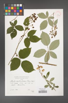 Rubus austroslovacus [KOR 39896]