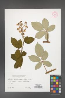 Rubus austroslovacus [KOR 39898]