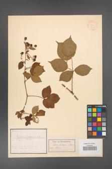 Rubus bertrami [KOR 18480]