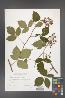 Rubus bavaricus [KOR 40143]