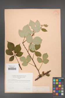 Rubus bifrons [KOR 21354]