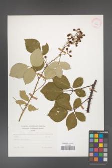 Rubus bifrons [KOR 25629]
