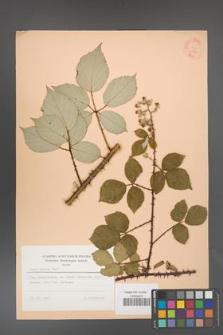 Rubus bifrons [KOR 53800]