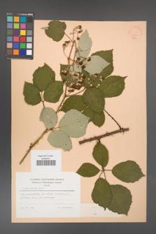 Rubus bifrons [KOR 53801]
