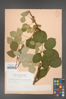Rubus bifrons [KOR 21352]