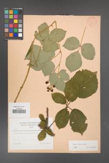 Rubus bifrons [KOR 23412]