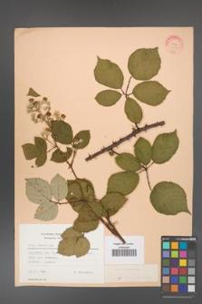 Rubus bifrons [KOR 22793]