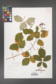 Rubus bifrons [KOR 29204]