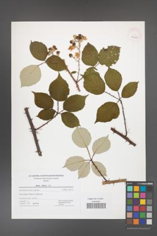 Rubus bifrons [KOR 42825]