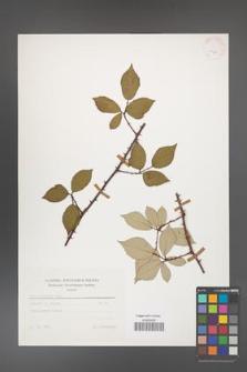 Rubus bifrons [KOR 25618]