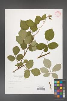 Rubus bifrons [KOR 29284]