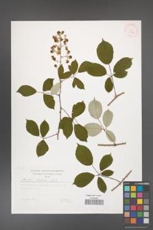 Rubus bifrons [KOR 29510]