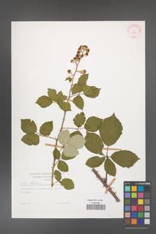 Rubus bifrons [KOR 29203]