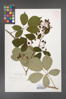 Rubus bifrons [KOR 29511]