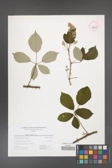 Rubus bifrons [KOR 44669]