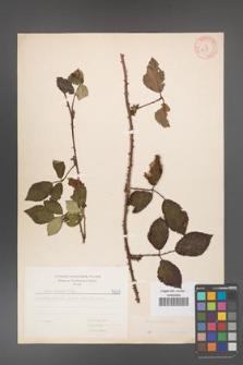 Rubus bifrons [KOR 5631]