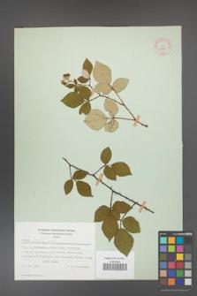 Rubus bifrons [KOR 53798]