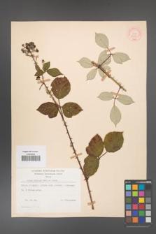 Rubus bifrons [KOR 53797]
