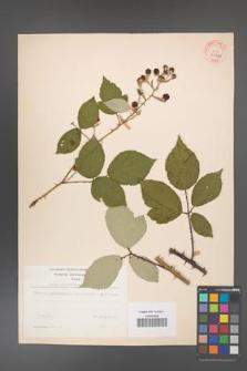 Rubus bifrons [KOR 31562]