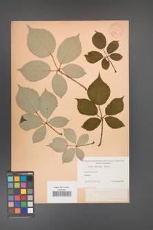 Rubus bifrons [KOR 10571]