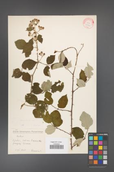 Rubus bifrons [KOR 10574]