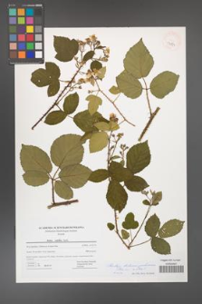 Rubus bohemo-polonicus [KOR 43271]