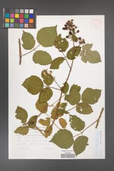 Rubus bohemo-polonicus [KOR 33233]