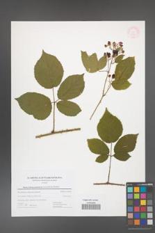 Rubus bohemo-polonicus [KOR 53792]