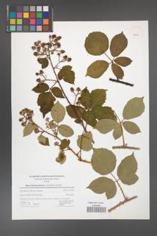 Rubus bohemo-polonicus [KOR 42781]