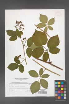 Rubus bohemo-polonicus [KOR 41705]