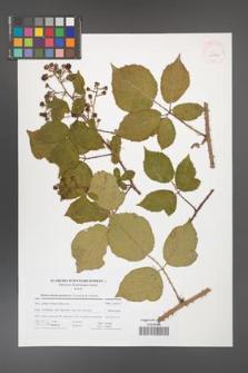 Rubus bohemo-polonicus [KOR 41714]