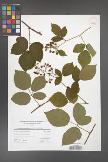 Rubus bohemo-polonicus [KOR 42802]
