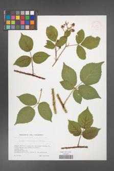 Rubus brdensis [KOR 51769]