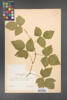 Rubus caesius [KOR 31053]