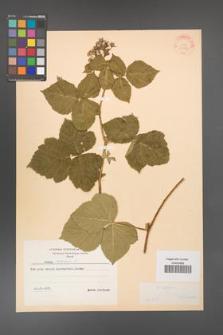 Rubus caesius [KOR 31067]