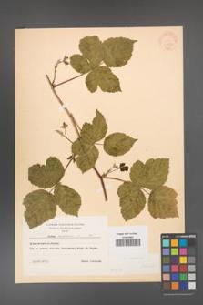 Rubus caesius [KOR 31072]