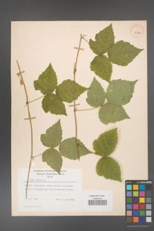 Rubus caesius [KOR 29843]
