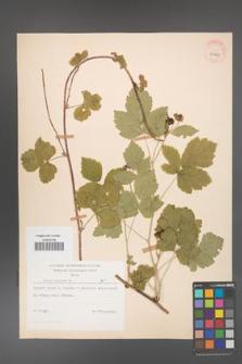 Rubus caesius [KOR 29855]