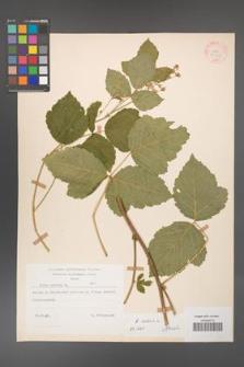 Rubus caesius [KOR 27925]